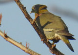 Yellow-Toed Green Pigeon