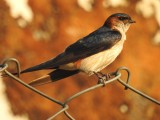Red-rumped barn swallow