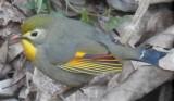 Red-billed Leothrix