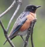 Spot-winged Starling female