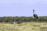 Traner  / Cranes