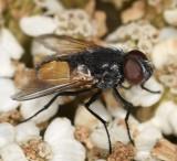 Muscidae: House Flies