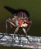 Scathophagidae: Dung Flies