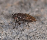 Sphaeroceridae: Lesser Dung Flies