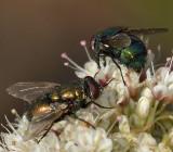 Calliphoridae: Blow Flies