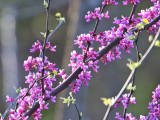 Return of the Redbuds