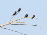 Perching, Song and Other Birds