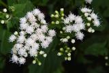 Boneset in Bloom