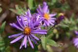 Purple Pinwheel