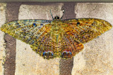 Black Witch moth patio