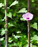 ornamental sweet potato flower