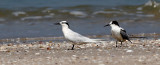 Black-naped Tern