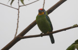 Necklaced Barbet