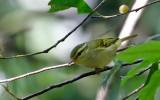Kloss's Leaf Warbler