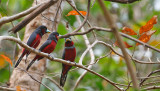 Black-red Broadbill