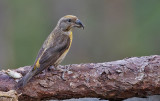 Vietnamese Red Crossbill