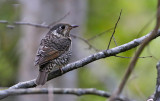 White-throated Rock Thrush