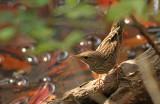 Lanceolated Warbler