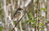 Common Reed Bunting, female