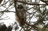 Horned Owl, chick