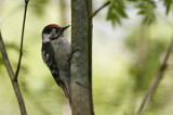 Small Spotted Woodpecker