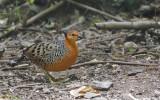 Ferruginous Wood Partridge, female