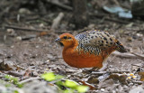 Ferruginous Wood Partridge