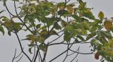 Slender-billled Oriole