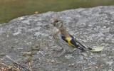 Goldfinch, juvenile
