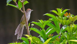 Tawny Grassbird