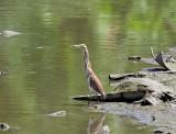 Chinese Pond Heron_5070.jpg