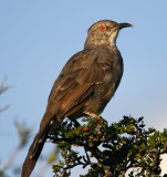 Curve-billed Thrasher_5915.jpg