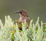 California Thrasher_0610.jpg