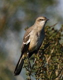 Northern Mockingbird_5979.jpg