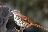 Brown Thrasher_5410.jpg