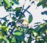 Chestnut-sided Shrike Vireo_8930.jpg