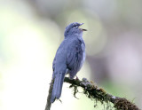 Slate-colored Solitaire_7858.jpg