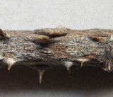 Discostroma corticola 001 seimatosporium conidial state on dead bramble stem Carlton Wood NNotts 7-4-2016.JPG