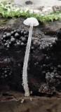 Hemimycena tortuosa Dewdrop bonnet and Chaetosphaerella phaeostroma Dukes Wood Nov-17 RR.jpg