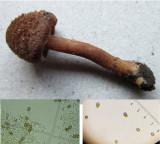 Inocybe calospora basidium and spores in sandy soil Ransom Wood Notts 2017-11-29.jpg