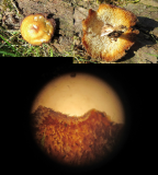 Polyporus arcularius on willow Woodsetts Pond Worksop 2018-4-19.jpg