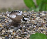 Kleine Plevieren - Little Ringed Plovers