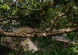P1130625 iguana