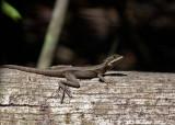 P3080104 gecko