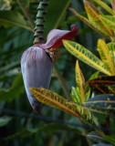P3090146 banana blossom