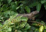 P3110382 iguana