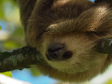 P3110386 young sloth