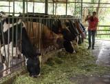 P3180424 Cows