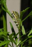 P1140786 Black swallowtail butterfly caterpillar
