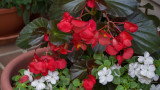 SIL40044 begonia and impatiens